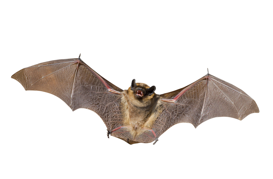 A Close Up Of The Small Bat Isolated On White