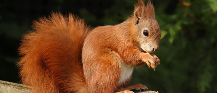 squirrel-red