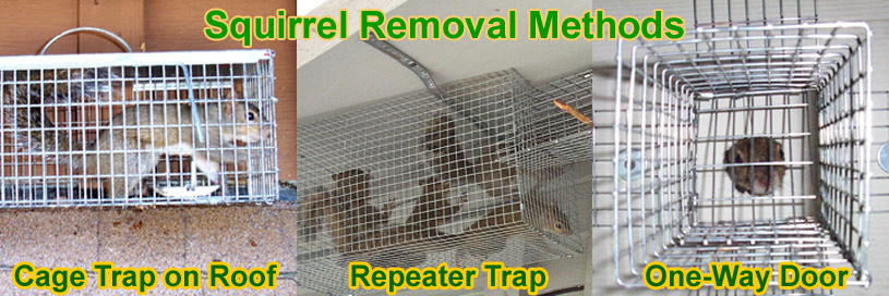 How To Get Rid Of Squirrels Pest Removal Guide