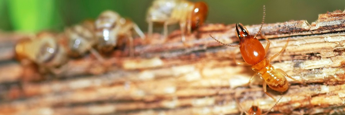 Do It Yourself Drywood Termite Treatments Pest Removal