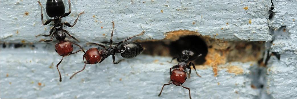 ants-bait