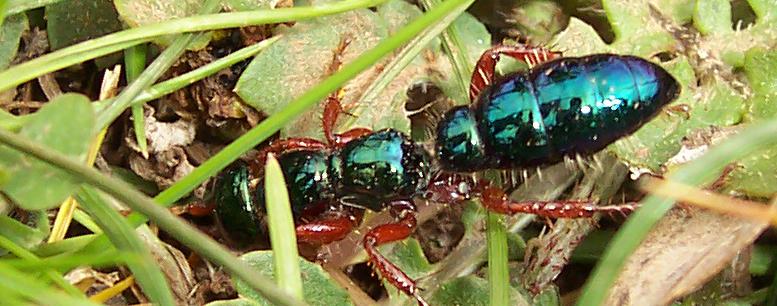 blue-ants
