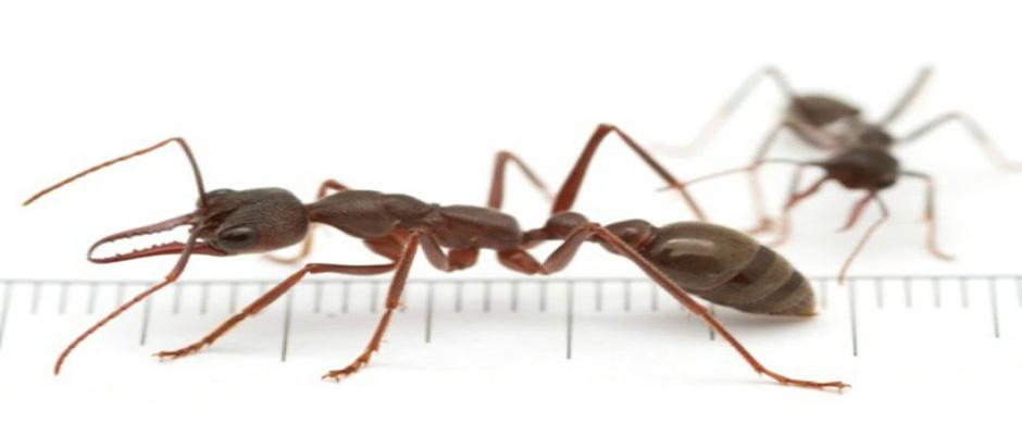 bull-ants