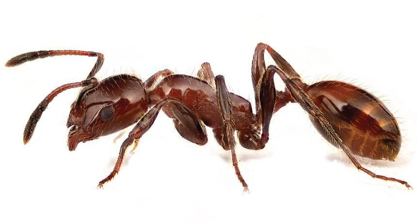crazy-ants