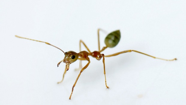 piss-ants