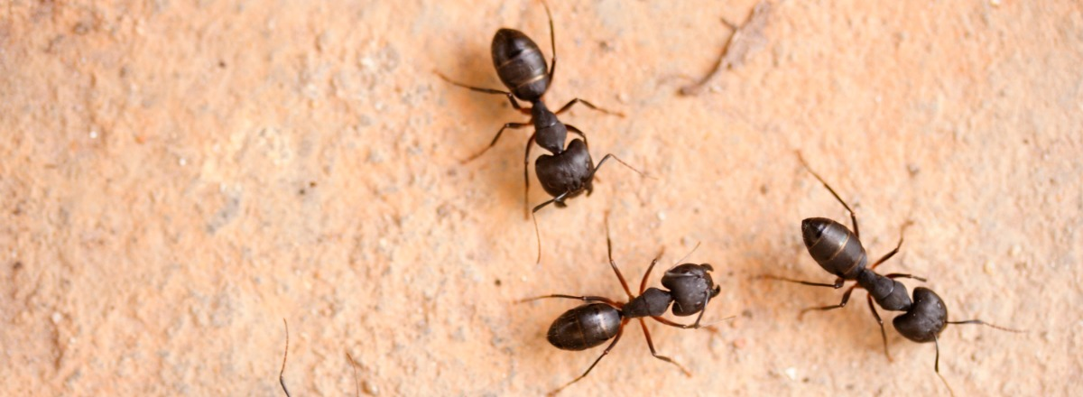 good Black Ants In Kitchen Problem #7: Black Ants