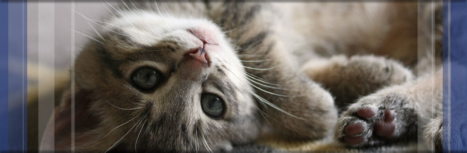 fleas-on-cats