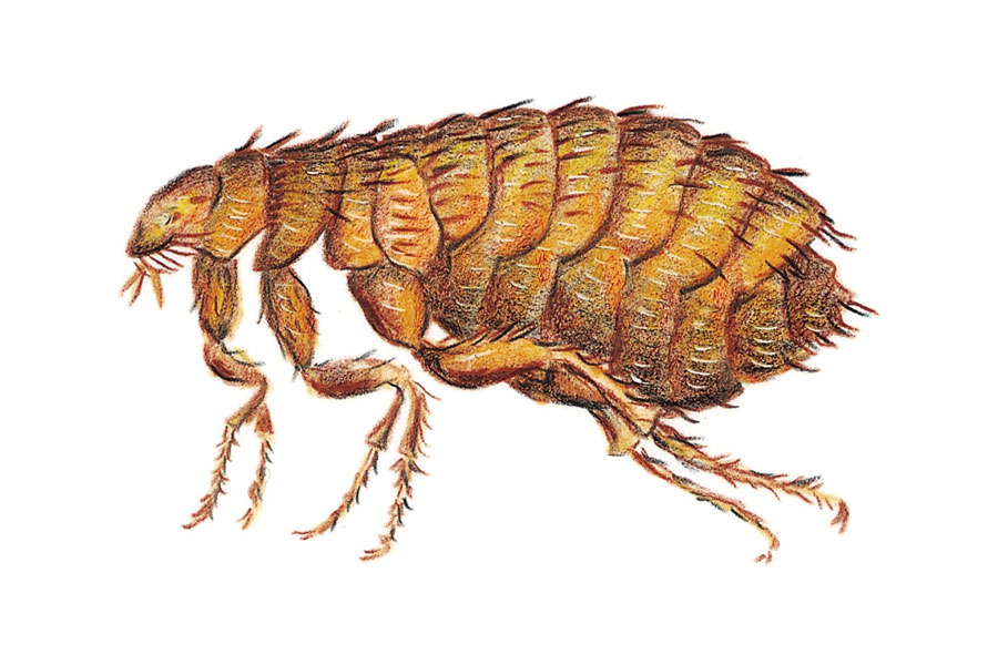 How To Rid Home Of Fleas Naturally