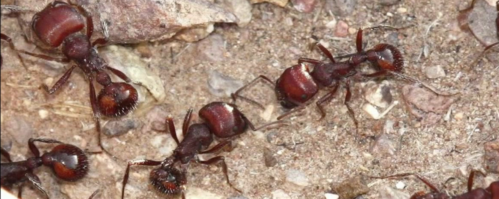 Natural Way To Get Rid Of Black Ants