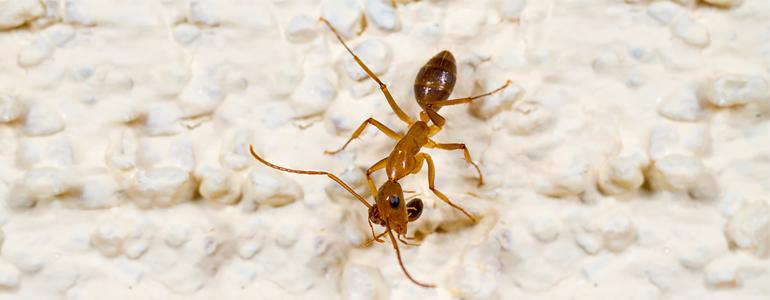 fire-ants