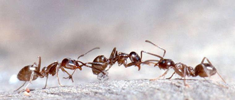 red-velvet-ants